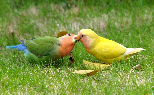 pappagalli bacio