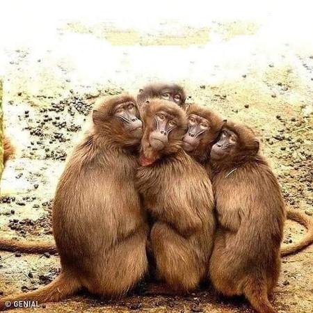 scimmie gruppo